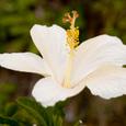 Haibiscus_white_zc