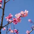 Sakura01z_simasi