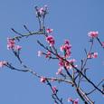 Sakura02_simasi