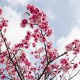 Sakura070217_03_g