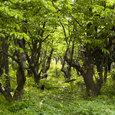 Sakura_trees