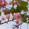Sakura_z1