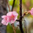 Sakura_z2