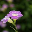 Violet02_050520