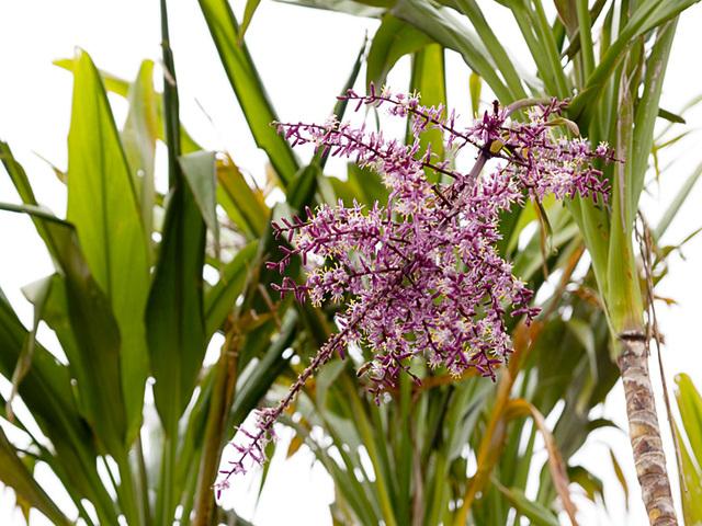 Bamboo_purple