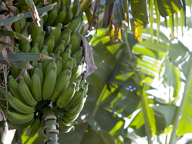 Banana_husa_g