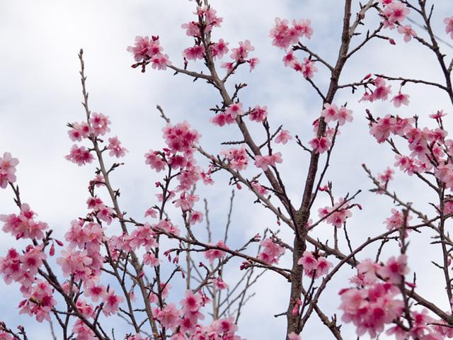 Sakura01_070209