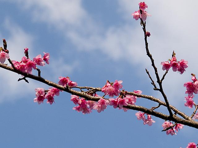 Sakura01_naka