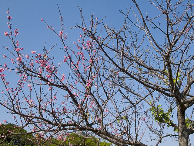 Sakura05half_simasi