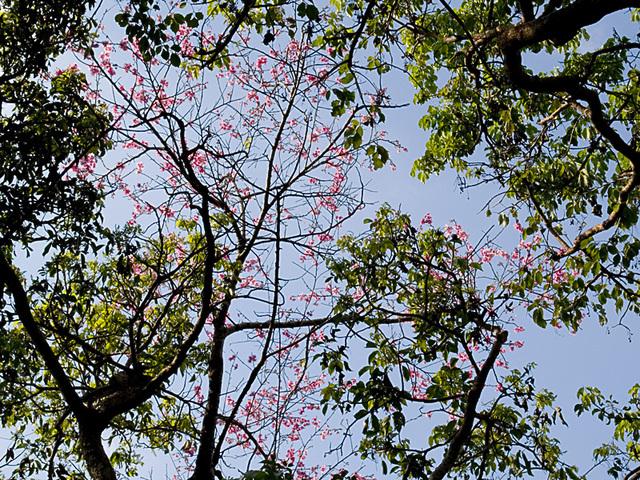 Sakura05tree_naka