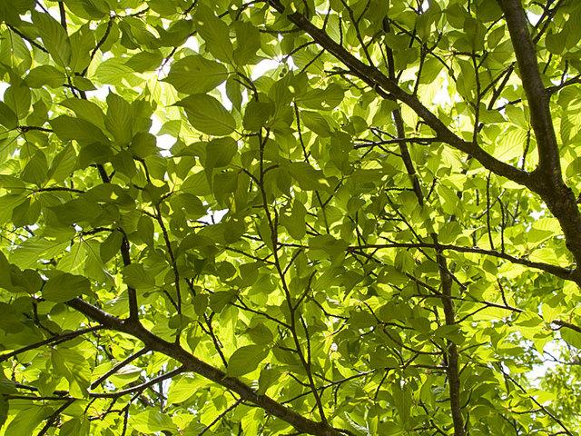 Sakura_leaf1_g