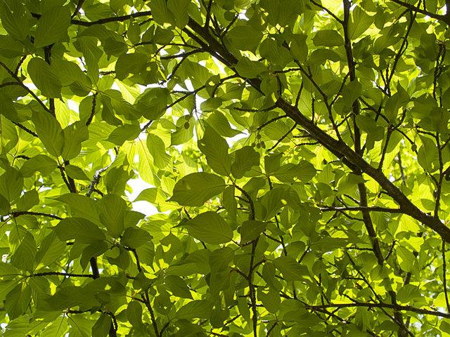 Sakura_leaf2