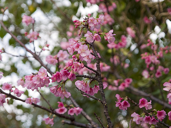 Sakura_zentai